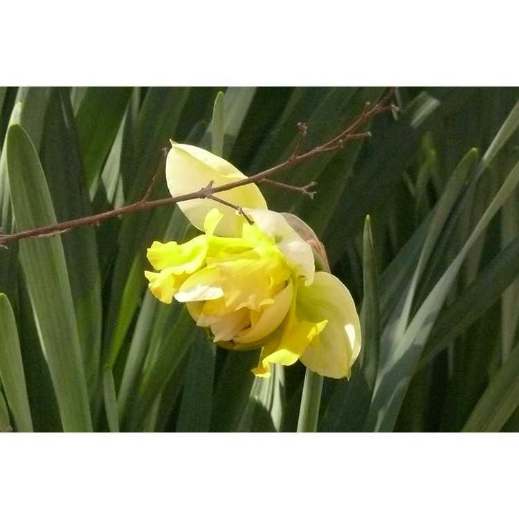 Narcissus 'Art Design'