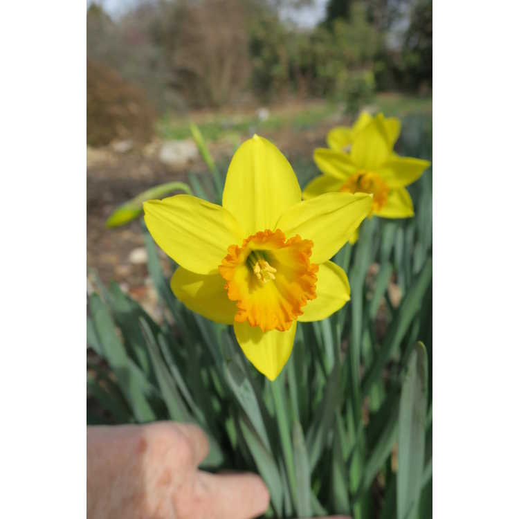 Narcissus 'Border Legend'
