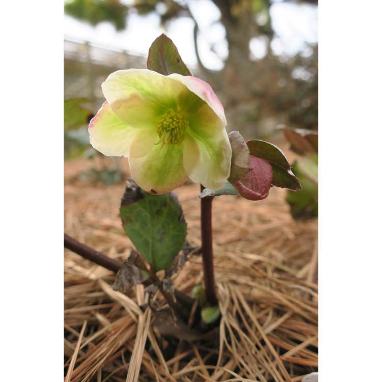 Helleborus ×ericsmithii 'Winter Moonbeam'