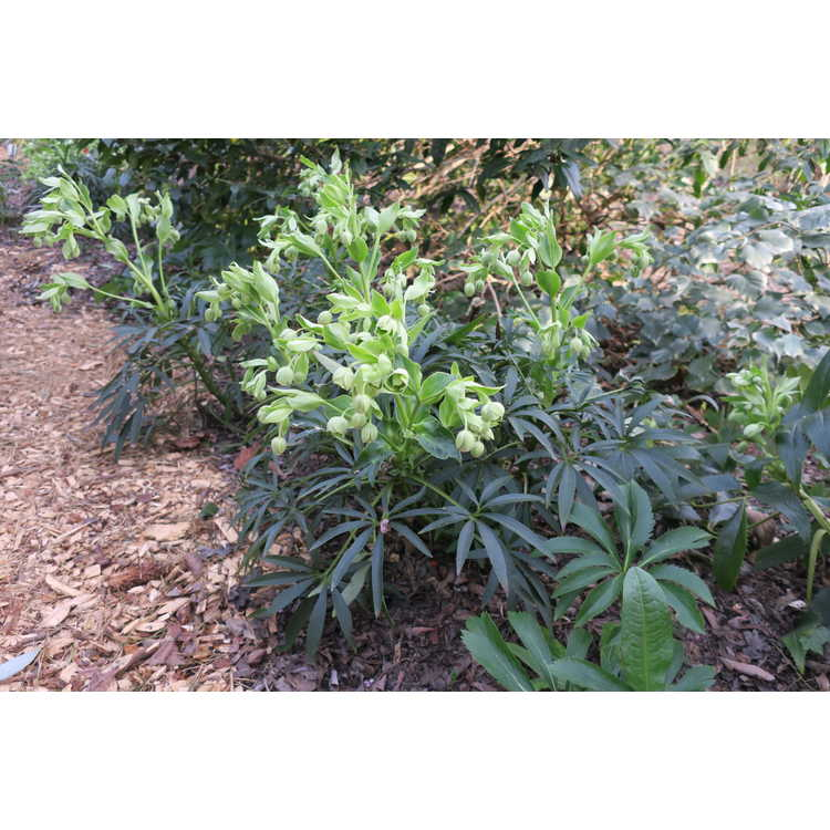 Helleborus sternii Montrose strain