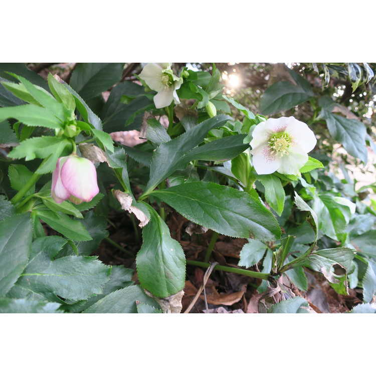 Helleborus ×hybridus (variegated) - variegated Lenten rose