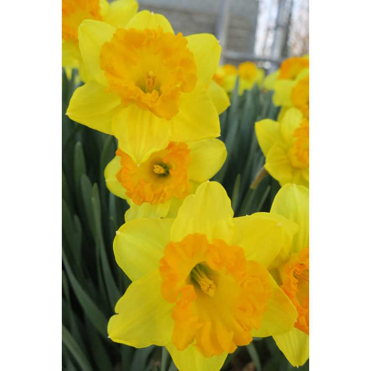 Narcissus 'Orange Frilled' - large-cupped daffodil