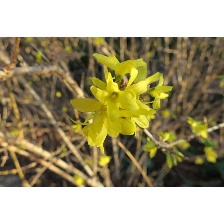 Forsythia ×intermedia 'White Gold' - variegated border forsythia