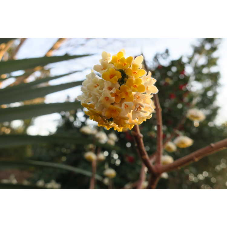 Edgeworthia 'Snow Globe'