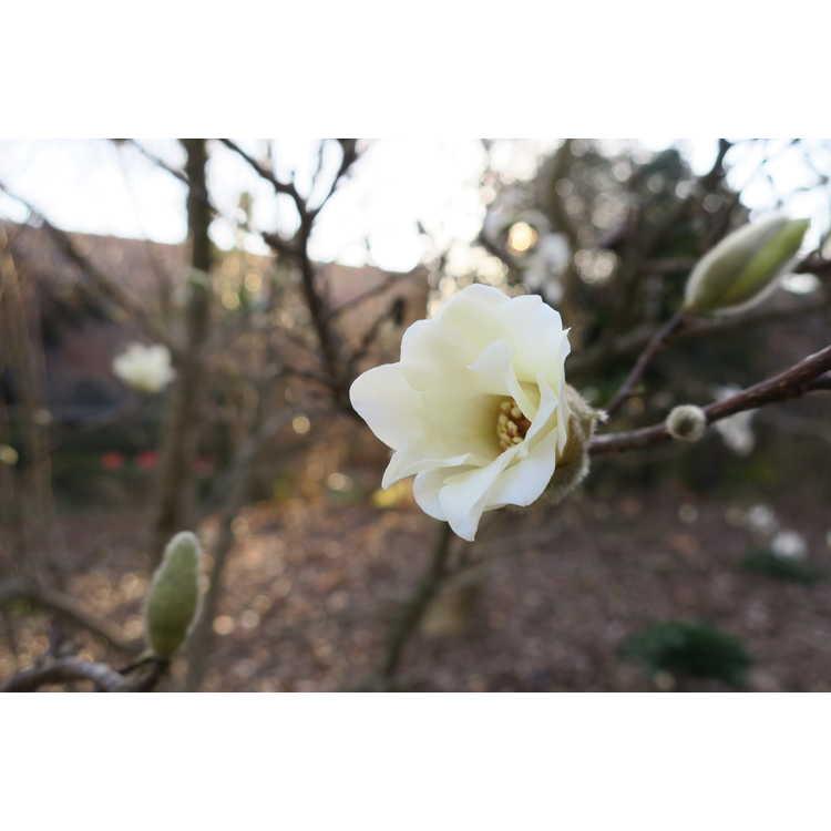 Magnolia 'Green Mist'