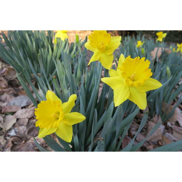 Narcissus 'Kassels Gold' - trumpet daffodil