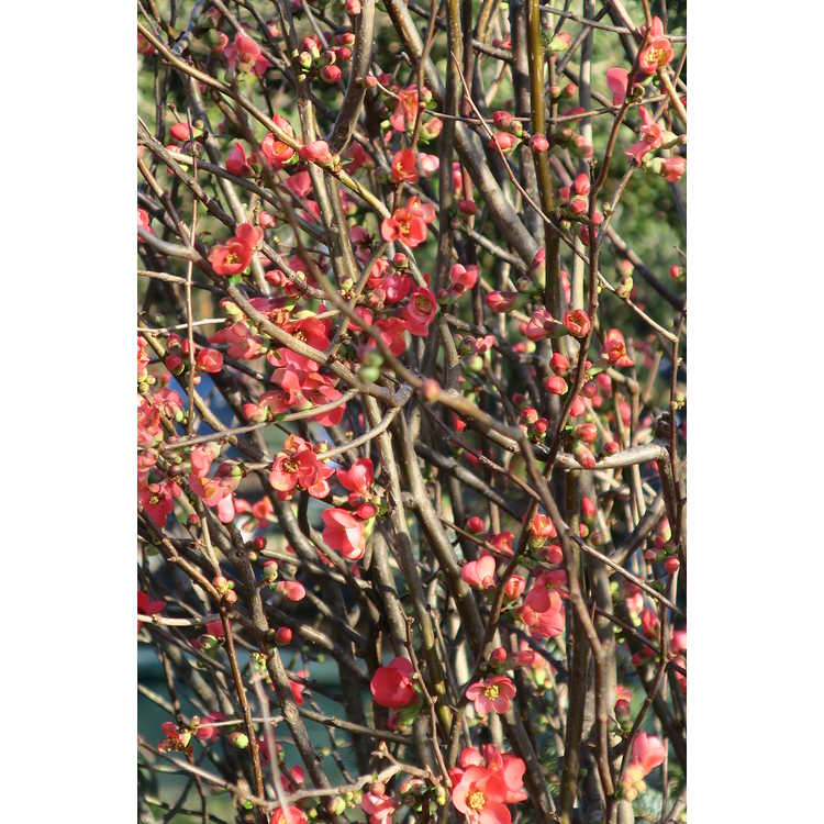 Chaenomeles 'Scarff's Red'
