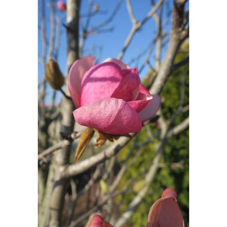 Magnolia 'Pink Delight' - Ledvina hybrid magnolia
