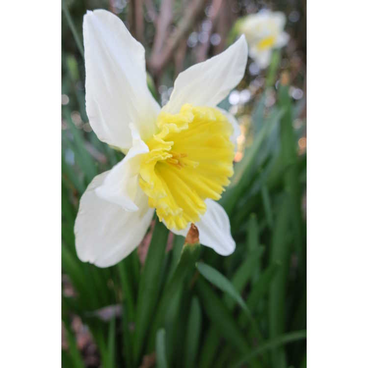 Narcissus 'Yellow Cheerfulness' - double daffodil