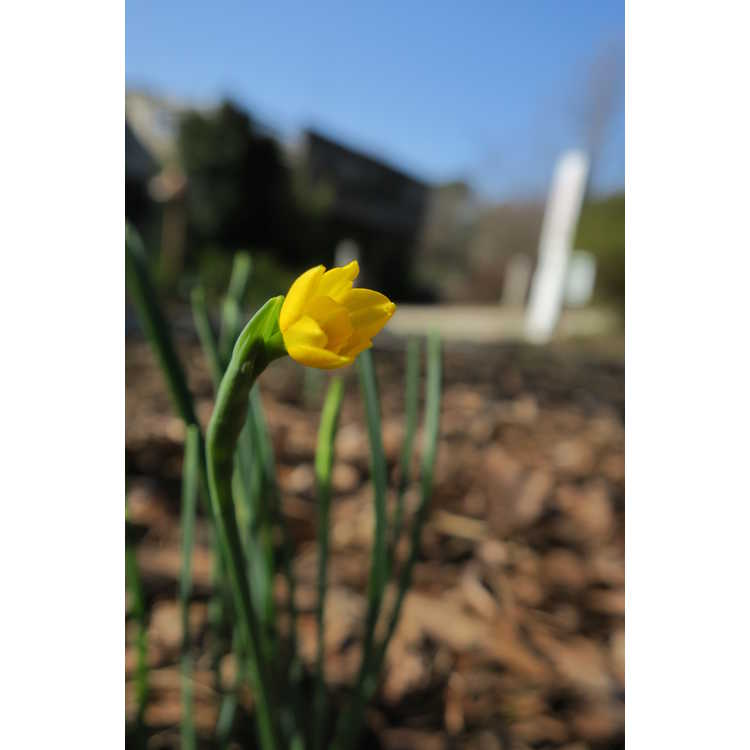 Narcissus 'Little Oliver'
