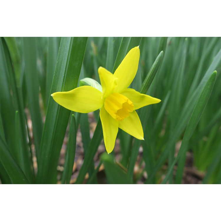 Narcissus 'Bittern'