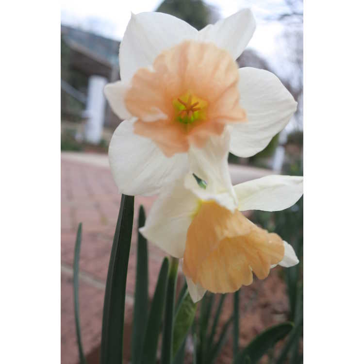 Narcissus 'Sweet Smiles'