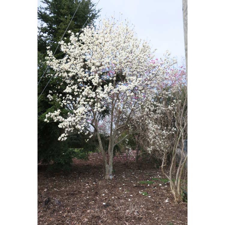 Magnolia cylindrica - Yellow Mountain magnolia