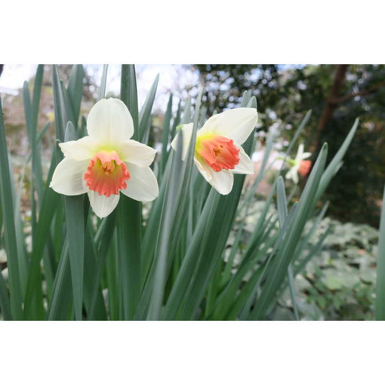 Narcissus 'Ascot' - double daffodil