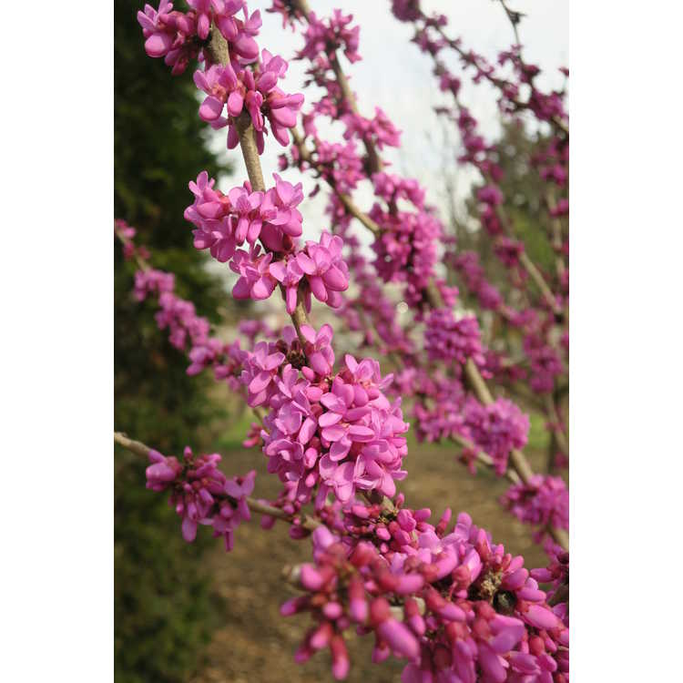 Cercis chinensis 'Kay's Early Hope' - Chinese redbud
