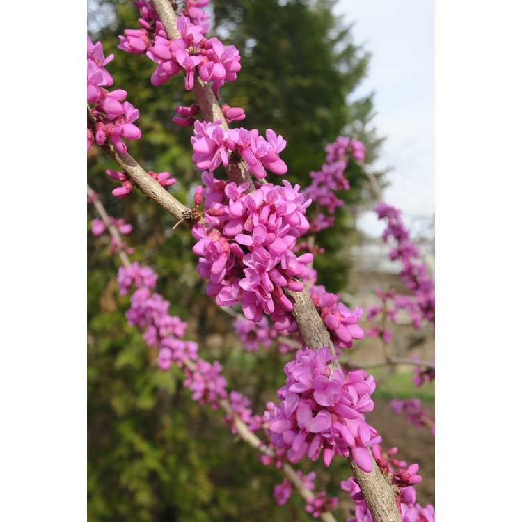 Cercis chinensis Kays Early Hope