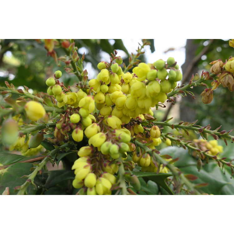 Mahonia 'McCracken's Seedling' - grapeholly