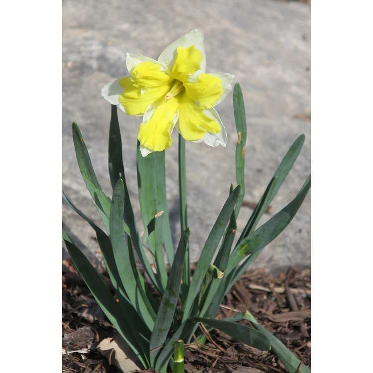 Narcissus 'Cassata' - collar daffodil
