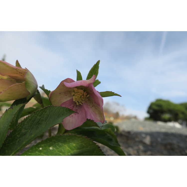Helleborus ×hybridus 'Pine Knot Select'