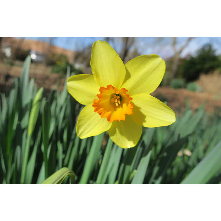 Narcissus 'Ballintoy' - large-cupped daffodil