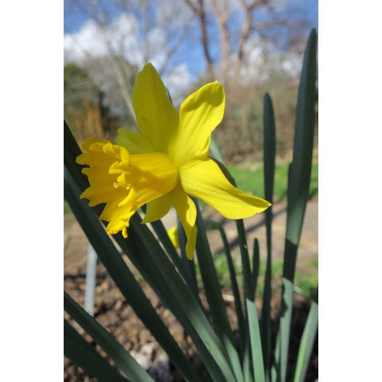 Narcissus 'Garden Fringe'