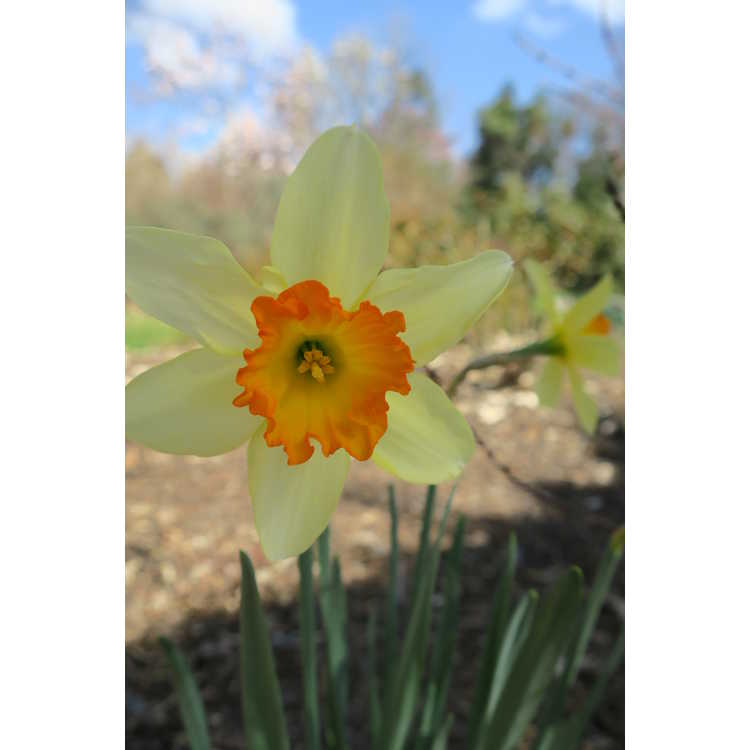 Narcissus 'Sempre Avanti'