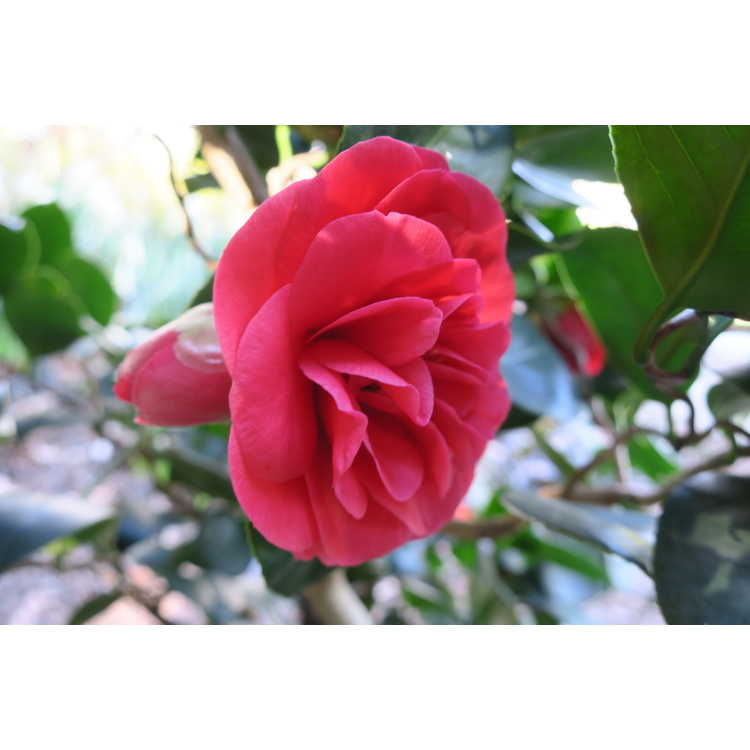 Camellia japonica Curly Lady