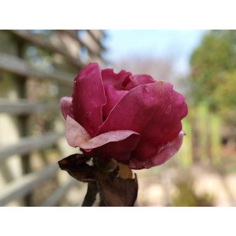 Magnolia Ians Red