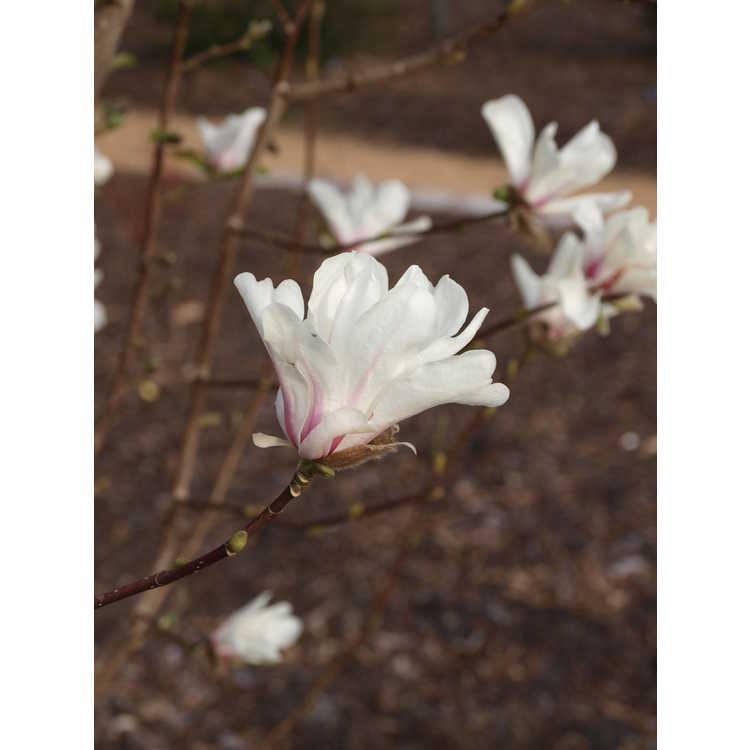 Magnolia kobus (fastigiate)