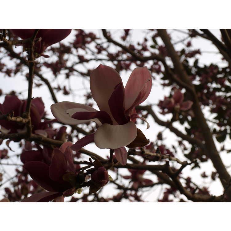 Magnolia ×soulangeana 'Picture'