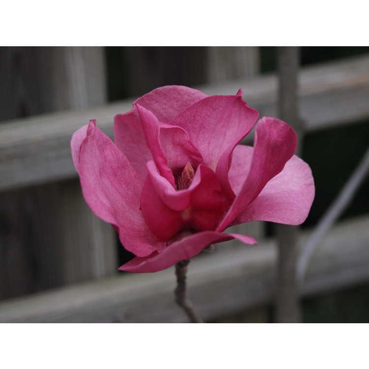 Magnolia 'Ian's Red' - deciduous magnolia