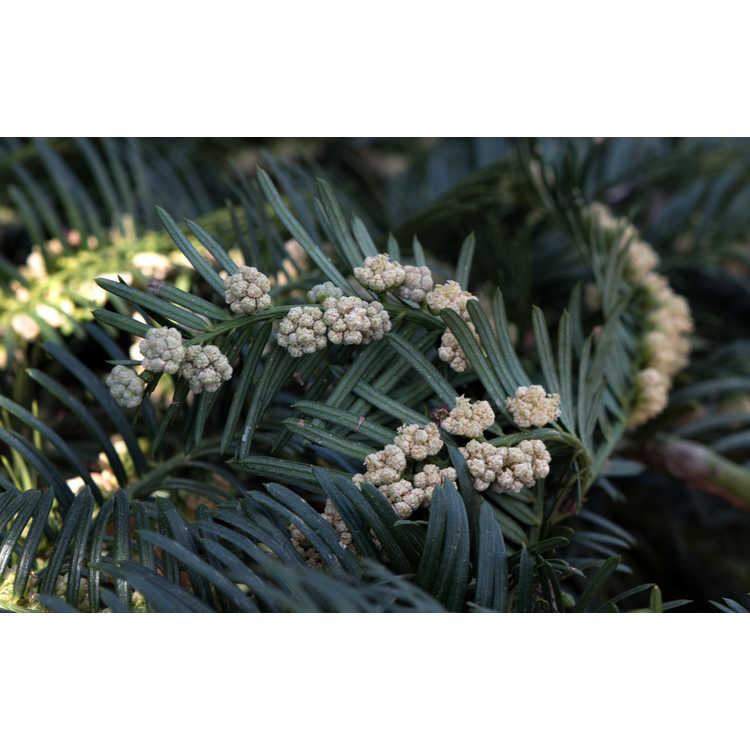 Cephalotaxus harringtonia 'Watnong' - spreading Japanese plum-yew