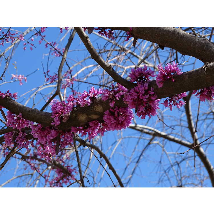 Cercis canadensis Floating Clouds