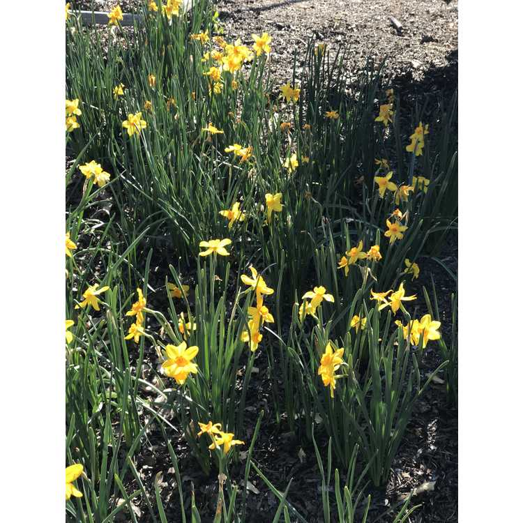 Narcissus 'Pappy George' - jonquilla daffodil