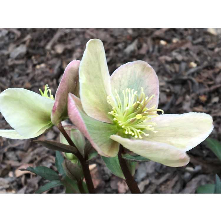 Helleborus ×ericsmithii 'Winter Sunshine' - hybrid Christmas rose
