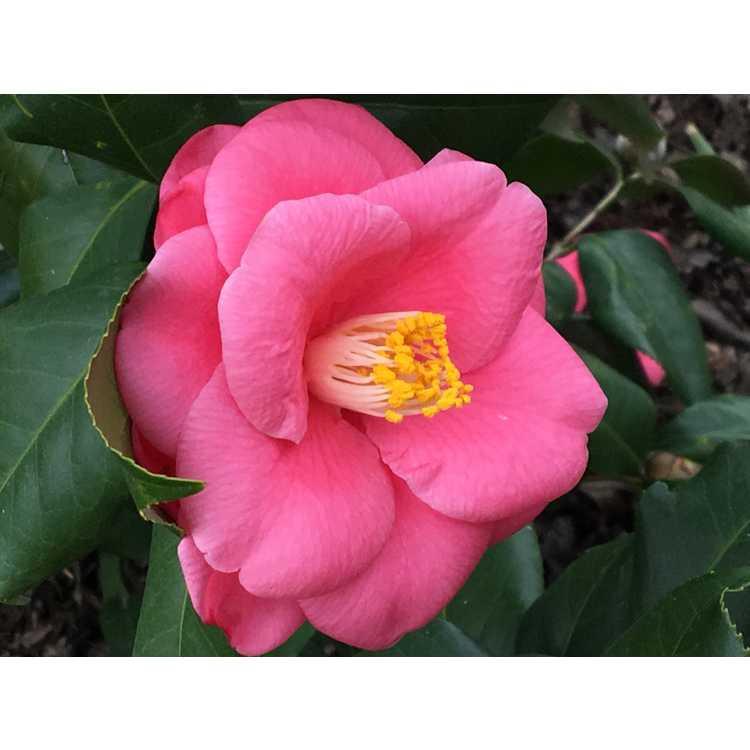 Camellia japonica 'Anacostia' - Japanese camellia