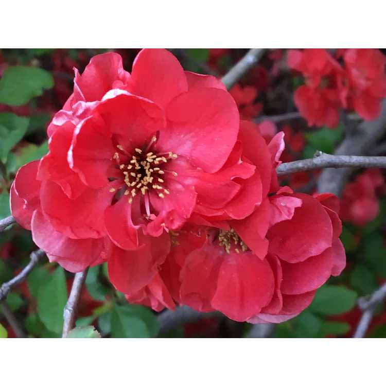 Chaenomeles japonica 'Chojuraku' - Japanese flowering quince