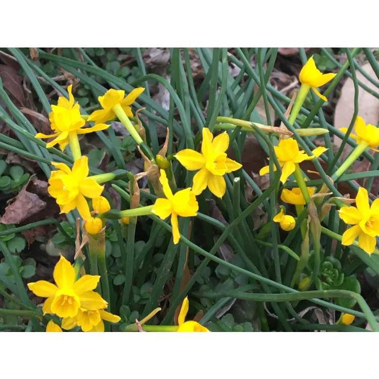 Narcissus willkommii - jonquilla daffodil