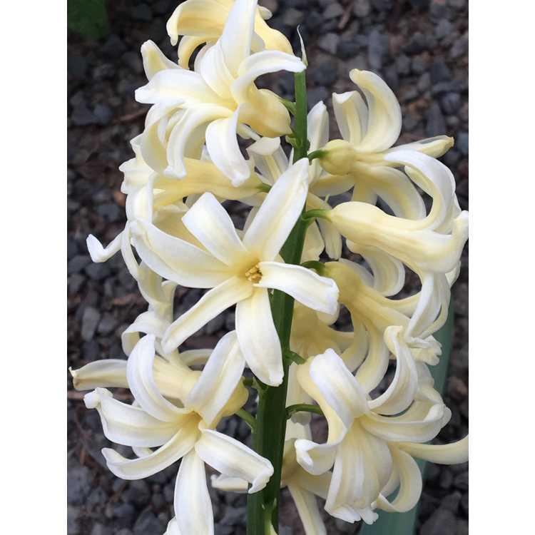 Hyacinthus orientalis Yellow Queen