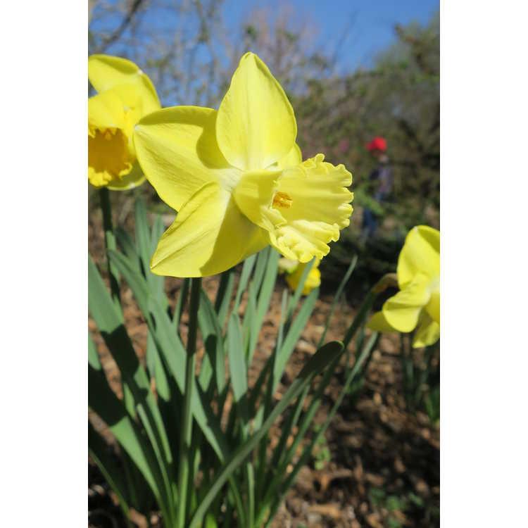 Narcissus Altun Ha