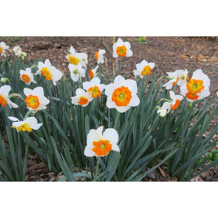Narcissus Bella Vista