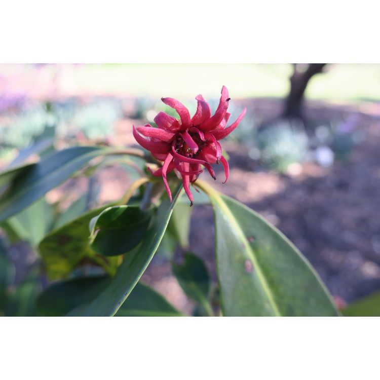 Illicium mexicanum 'Aztec Fire' - Mexican anise