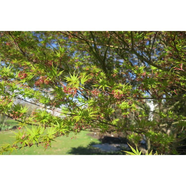 Acer palmatum Wou Nishiki
