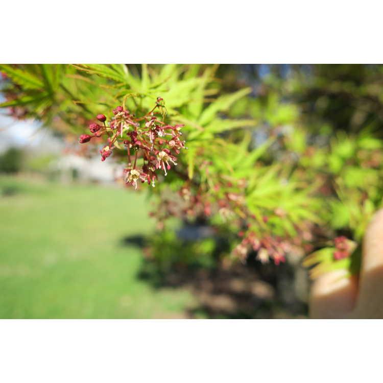 Acer palmatum 'Wou Nishiki' - chameleon Japanese maple