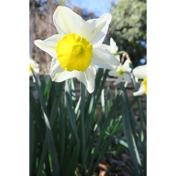 Narcissus 'Merels Favorite'