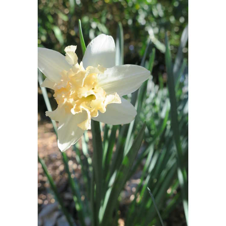 Narcissus 'Palmares' - collar daffodil
