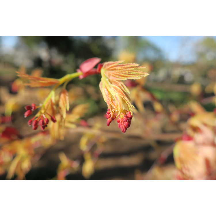 Acer palmatum 'Beni komachi' - dwarf red-leaf Japanese maple