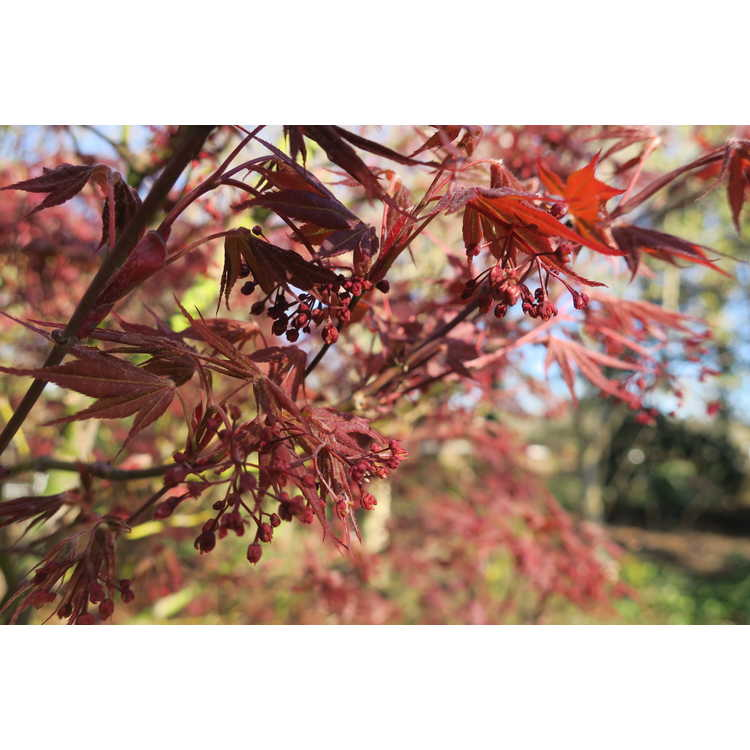 Acer palmatum 'E.P.' - purple-leaf Japanese maple