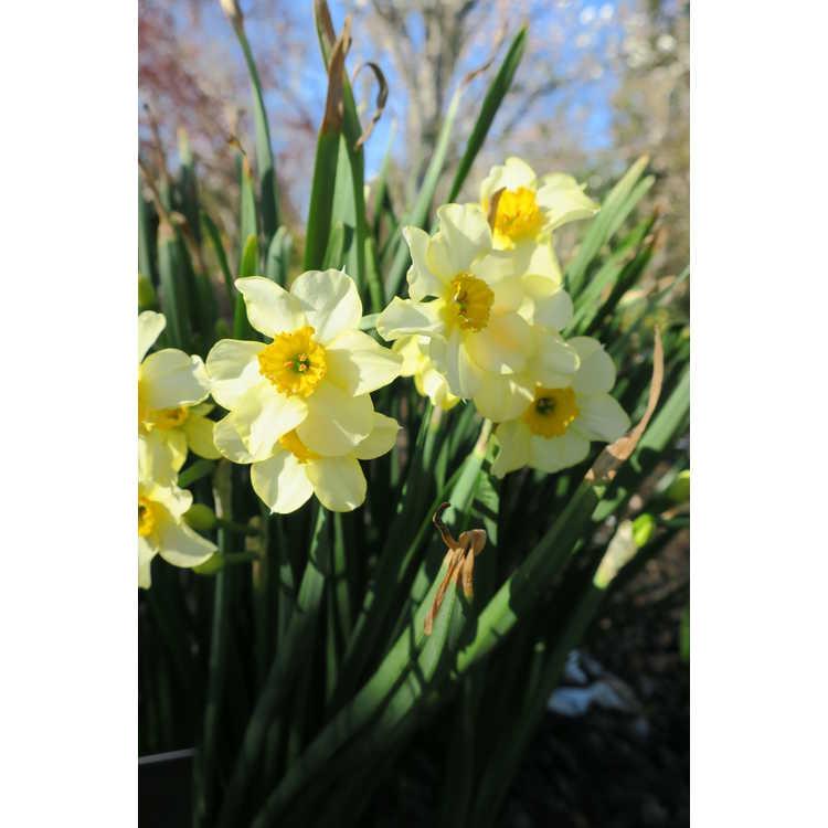 Narcissus Canarybird