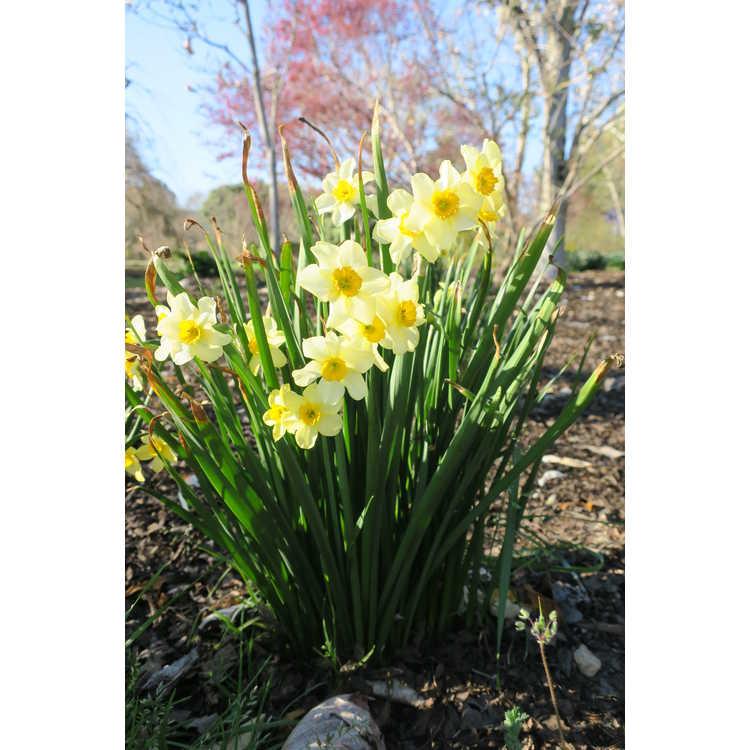 Narcissus 'Canarybird'